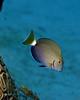 Ocean Surgeonfish Juv