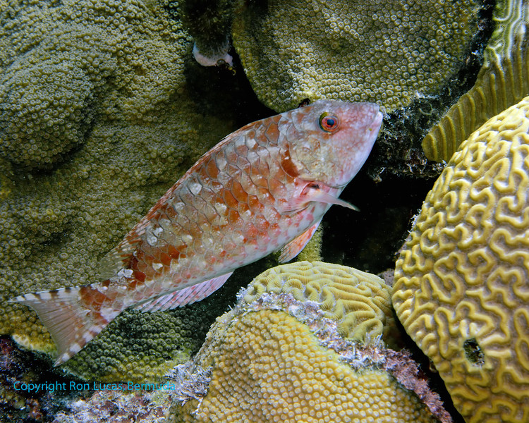 Redtail Parrotfish Intermediate Phase