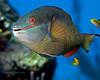 Redband Parrotfish Close up