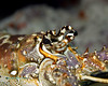 Spiny Lobster Macro