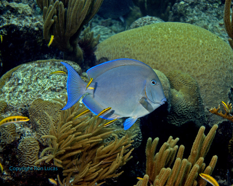 Blue Tang & Cleaner Fish