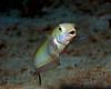 Sand Tile Fish