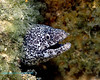 Spotted (Speckled) Moray Eel