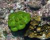 Stone Corals