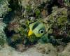 Foureye Butterflyfish Juv