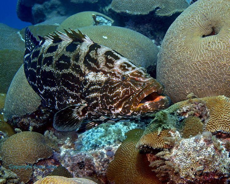 Black Grouper 2