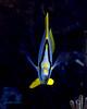Spotfin Butterflyfish Macro