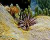 Slate Pencil Urchin