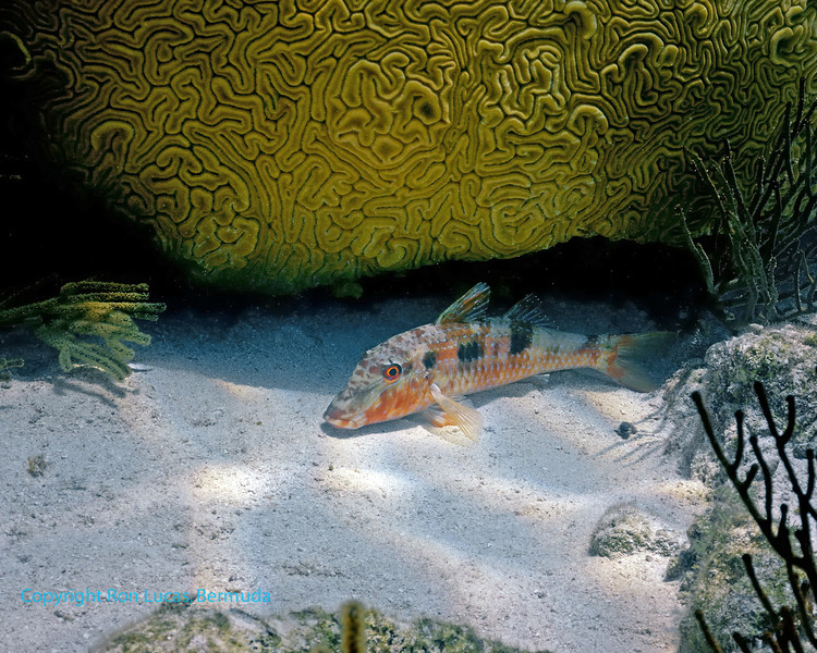 Spotted Goatfish Resting Coloration