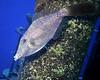 Scrawled Filefish on Hermes 2