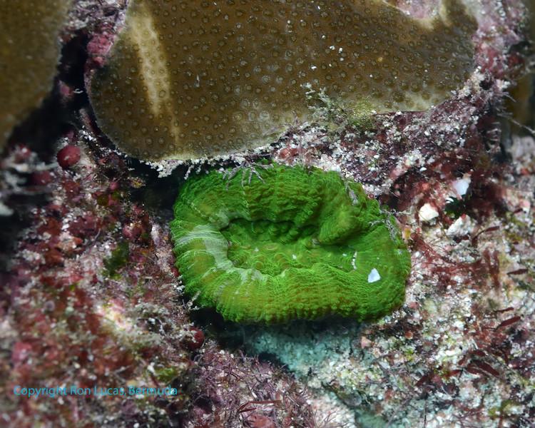 Stone Coral 1