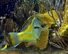 Puddingwife eating Urchin