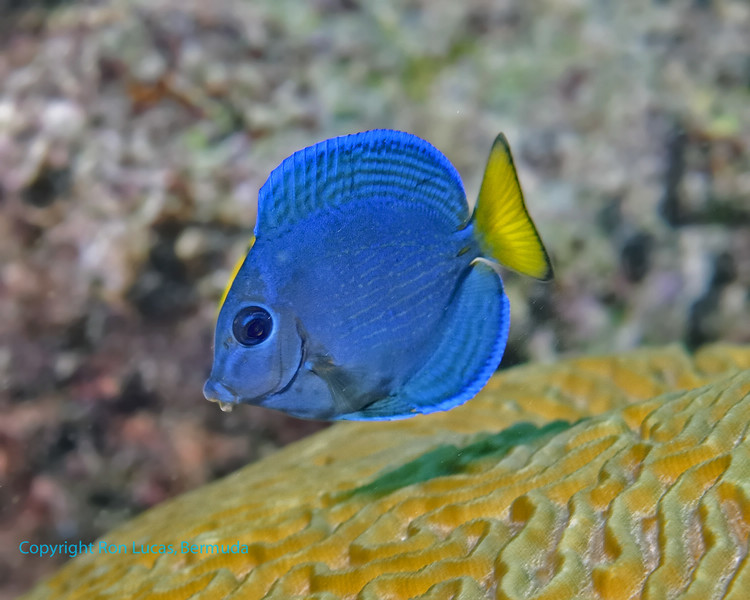 Blue Tang Intermediate