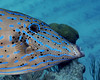 Scrawled Filefish Close up