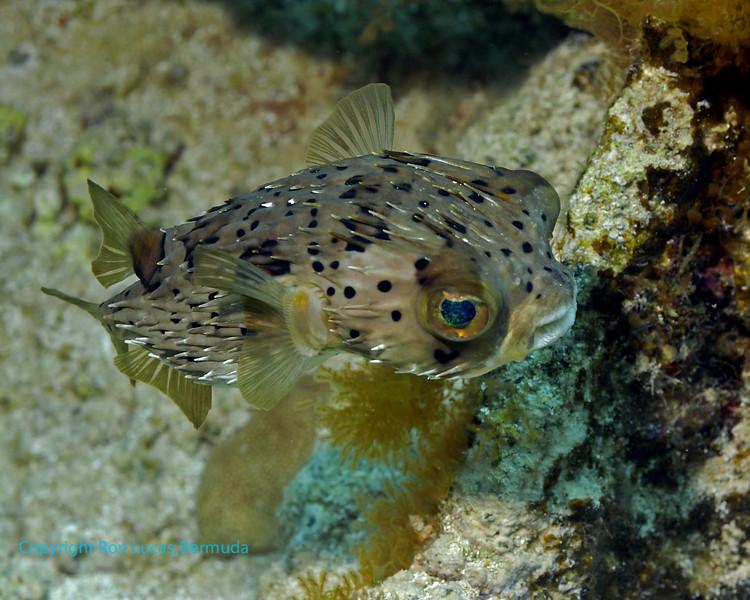 Balloonfish 1