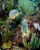 Foureye Butterflyfish Scene