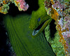 Green Moray Eel on Wreck