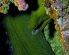 Green Moray Eel on Wreck