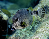 Smooth Trunkfish on Wreck