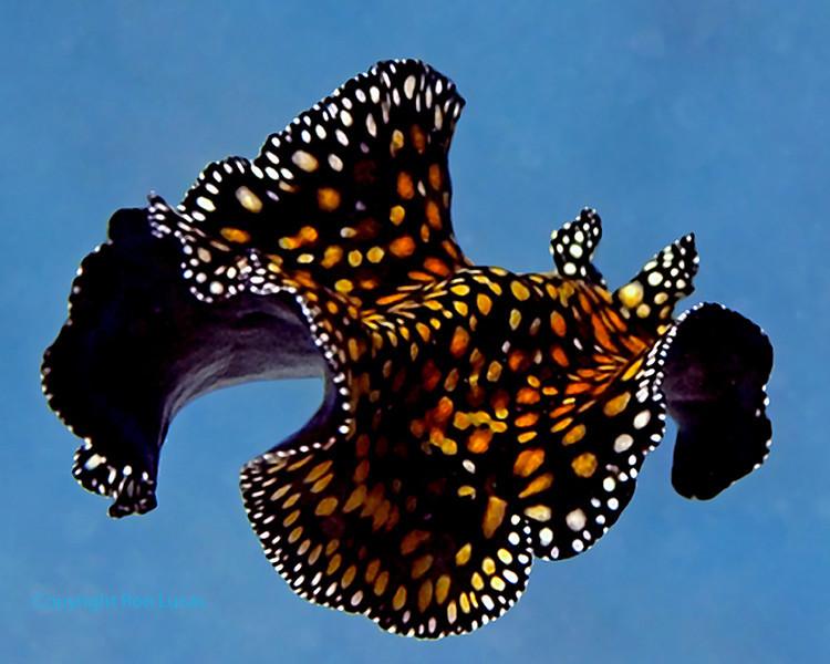 Leopard Flatworm Swimming