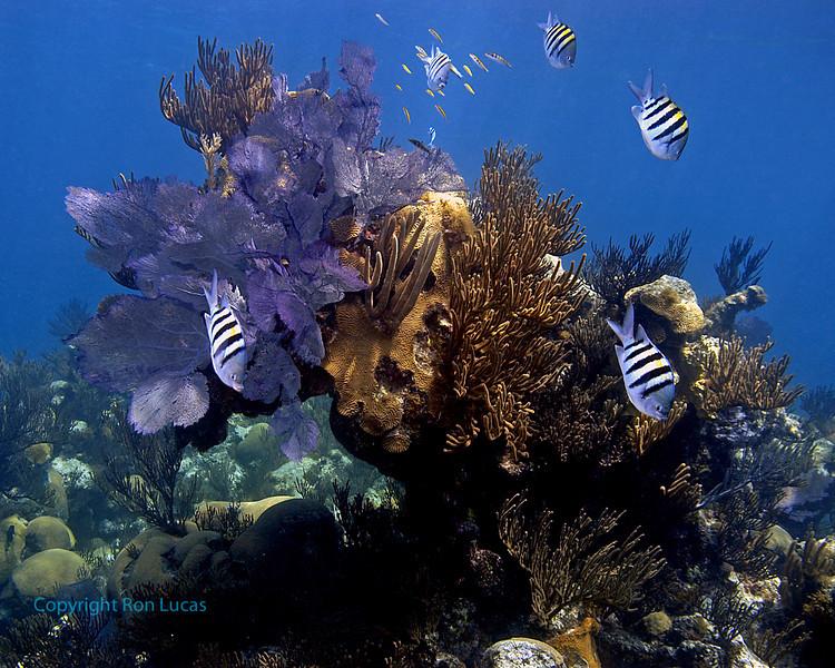 Reef Scene & Sergeant Majors