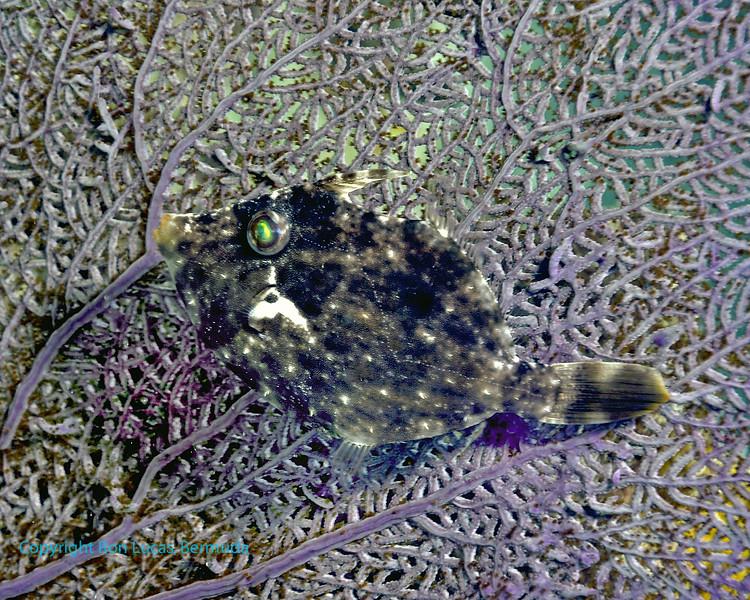 Fringed Filefish on Sea Fan