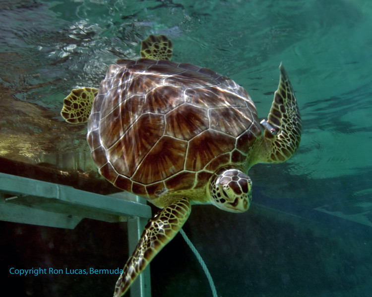 Green Turtle Tagging