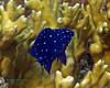 Yellow Damselfish Juv (Jewel Fish)