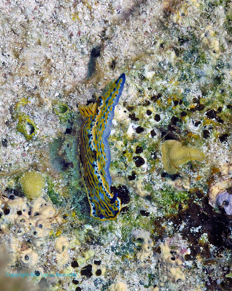 Zebra Slug Nudibranch 1