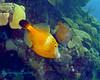 Whitespotted Filefish Orange Phase
