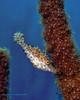 Slender Filefish 1
