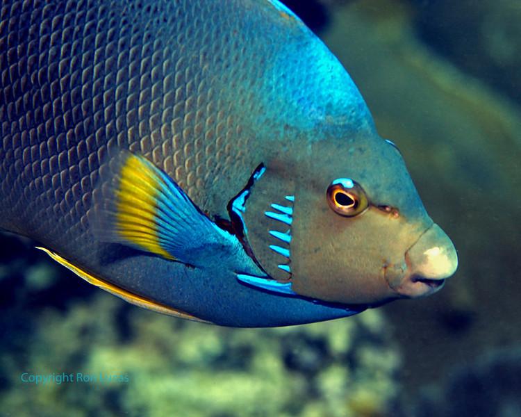 Blue (Bermuda) Angelfish Macro