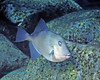 Gray Triggerfish on Wreck