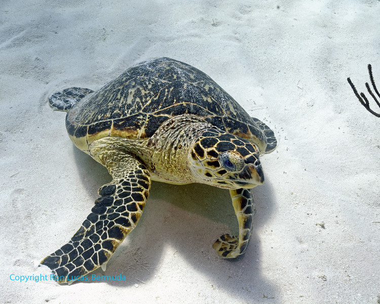 Hawksbill Turtle resting in sand