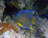 Blue Anglefish Juv