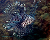 Lionfish on Dredger