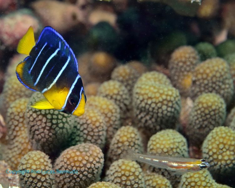 Blue Angelfish Early Juvenile and Saddled Goby