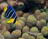 Blue Angelfish Early Juvenile and Saddled Goby