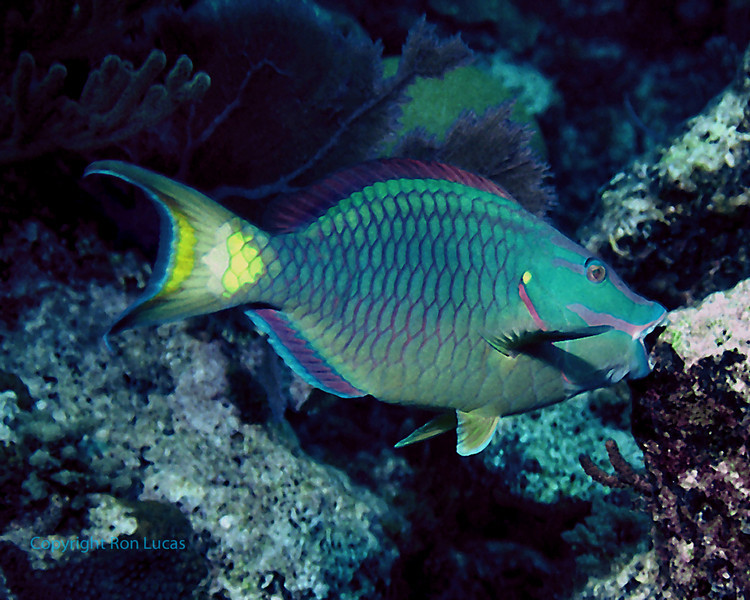 Stoplight Parrotfish scraping reef