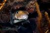 Porcupinefish 1
