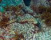 Bermuda Sharptail Eel