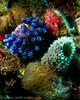 Tunicate, Mingo Cay