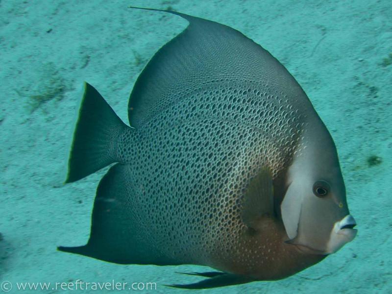 Grey Angelfish, Mingo Cay