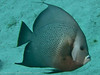 Grey Angelfish, Mingo Cay