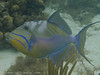 Queen Triggerfish, Lovango Cay