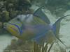 Queen Triggerfish, Lovango Cay