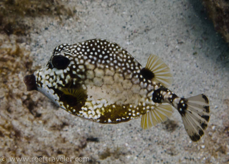 Trunkfish, Gallows Point