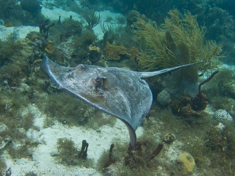 Ray, Lovango Cay