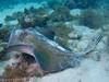 Southern Stingray, Lovango Cay