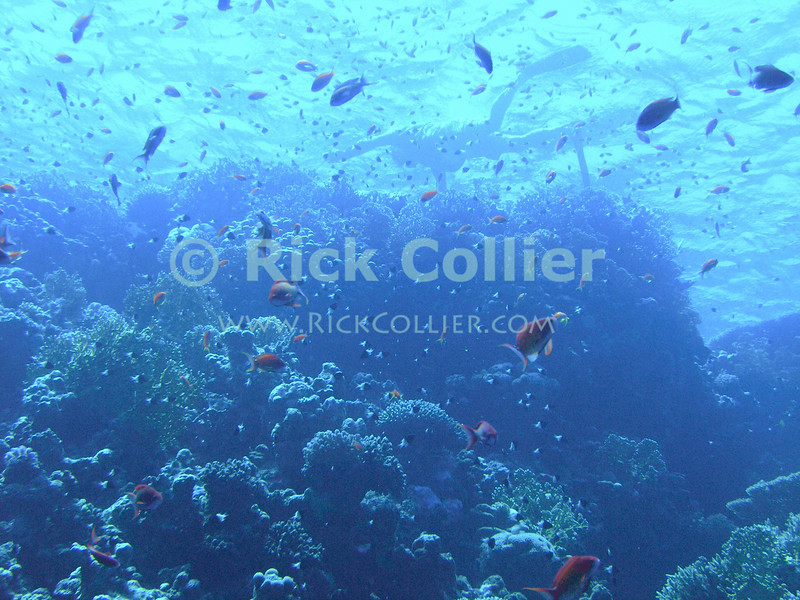 Red Sea, Sharm el-Sheikh, Egypt.  Snorkelers and scuba divers enjoy clouds of small fish hovering over the reef in Ras Mohammed National Park.  © Rick Collier<br /> <br /> <br /> <br /> <br /> <br /> scuba diver divers Egypt 'Red Sea' 'Ras Mohammed' Sharm 'Sharm el-Sheikh' 'Sharm al-Shaykh' underwater u/w blue coral reef fish orange scalefin anthias snorkel snorkeling dive diver swim